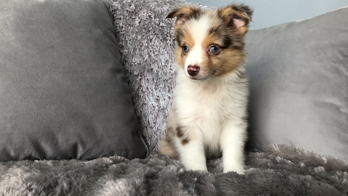 Available Puppies! - Playful Pets
